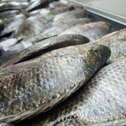 דגי כמא חנות דגים טריים לוגו